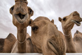 A Camel Beauty Pageant