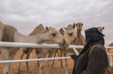 Hungry camels