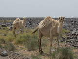 Camels at last