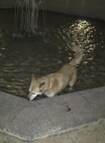 Sahraa the fountain dog
