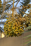 An abundance of dates (1)