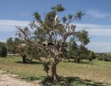 Near Essaouira, the goat tree