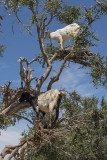 Near Essaouira, the goats in the tree