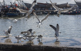 Essaouira, gull fight at the fishing port