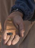 Sahara Desert, scarab beetle