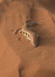 Sahara Desert, sandfish skink (MOROCCO)
