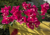 Bougainvillea and dumpster