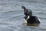 Tufted Duck & Scaup