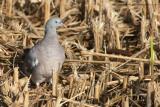 Woodpigeon & Feral Pigeons