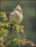 Skylark, Pipit and Wagtail