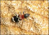 Brokbaggar - Cleridae