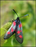 Zygaenidae - Burnet Moths and Forester Moths