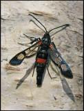 Sesiidae - Glasvingar