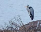 Swans, Storks, Herons and Cranes
