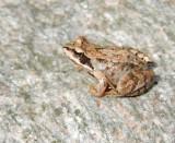 Rana temporaria - Vanlig groda.jpg