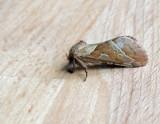 Hepialidae - Rotfjärilar