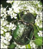 Bladhorningar - Scarabaeidae