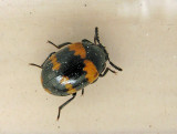 Svartbaggar - Tenebrionidae