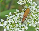 Blombaggar - Oedemeridae