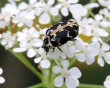 Ängrar - Dermestidae