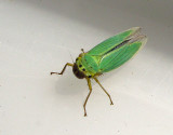 Leafhoppers - Sweden