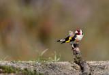 Goldfinch / Putter