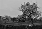 Typical apple trees in Normandie