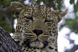 Leopards of Lion Sands