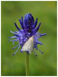 Noctuidae sp. on Phyteuma