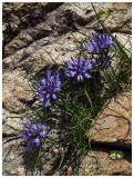 Phyteuma hedraianthifolium