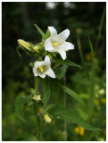 Campanula trachelium alba