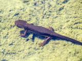 Nehalem newts