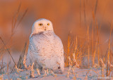 SnowyOwl28c0016.jpg