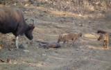 Wild Dogs attacking Gaur calf