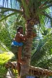Harvesting coconuts, Tarawa