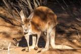 Red kangaroo, macropus rufus