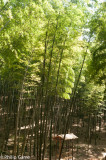 Bamboo groves in early evening