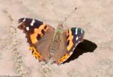 A lone butterfly