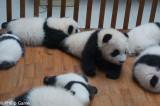 Infant giant pandas