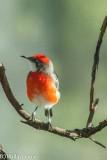 Crimson chat, Epthianura tricolor