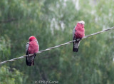 Galahs near our cottage