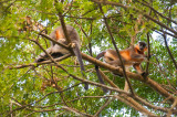 Monkeys cavorting in lowland forest, Assam