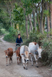 Marshalling the cows, a daily chore