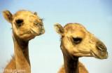 Twin camel foals at Buraimi, Oman