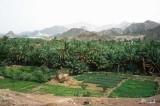 An oasis at Masfut, below the Hajjar