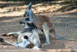 Mothering... red kangaroos, Alice Springs Desert Park