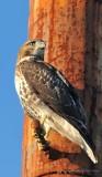 Blue Sox Hawk  20130730 (Web Sized) - Brigade_DxO.JPG