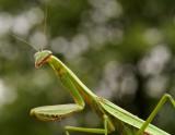 Praying Mantis 2015