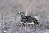 Rock Ptarmigan - Alpensneeuwhoen - Lagopus mutus