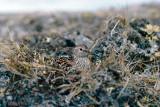 White-rumped Sandpiper - Bonapartes Strandloper - Calidris fuscicollis